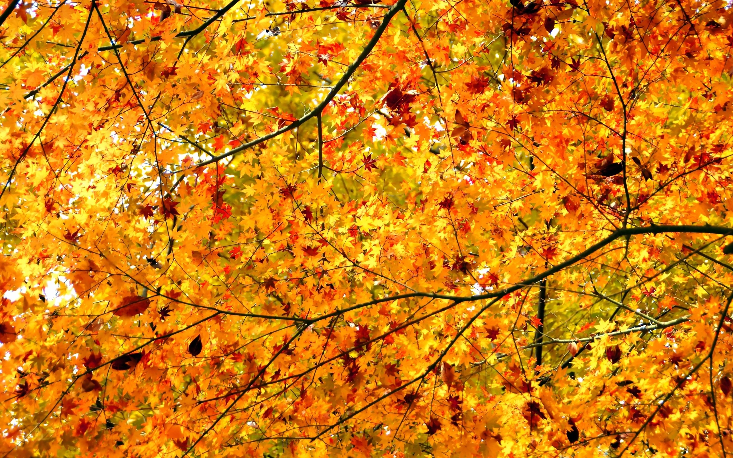 daily wallpaper: autumn maple trees | i like to waste my time