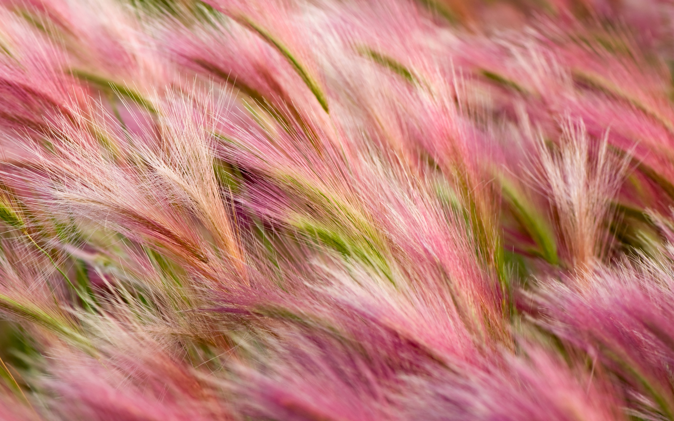 Daily Wallpaper Foxtail Barley I Like To Waste My Time