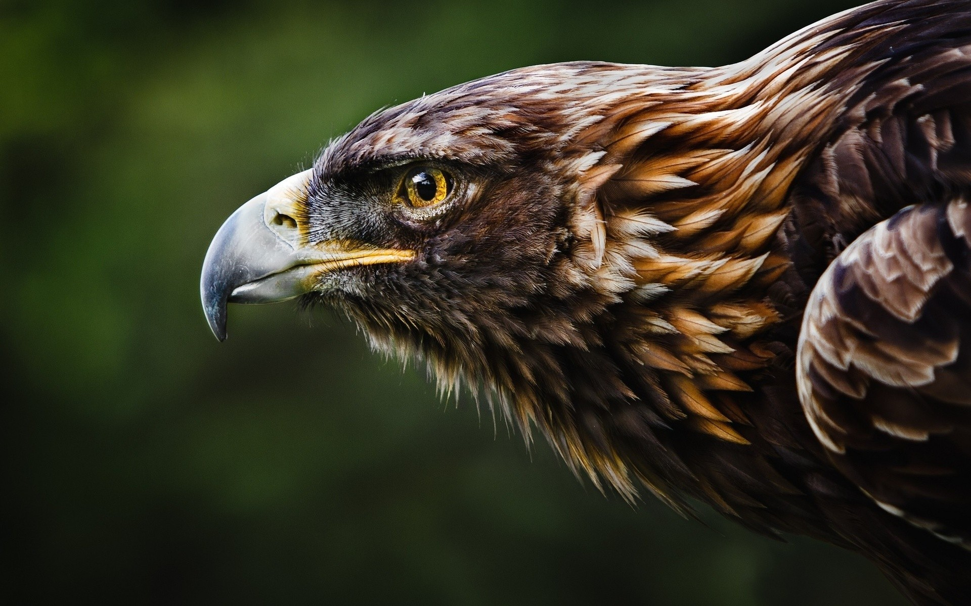 gold-eagle-william-hornaday-hd-wallpaper jpgGolden Eagle Hunting Wallpaper