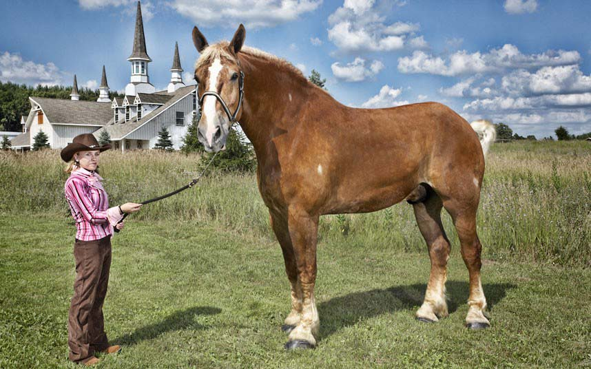 Photo Gallery Of   The Biggest Horse In The World Guinness World Records