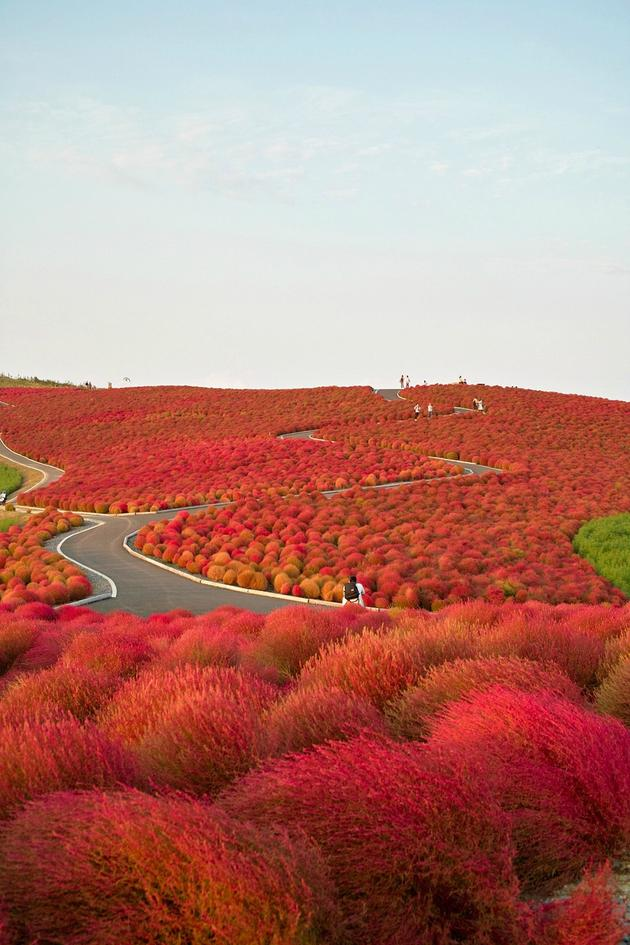 Kochia Hill, Hitachinaka City, Japan