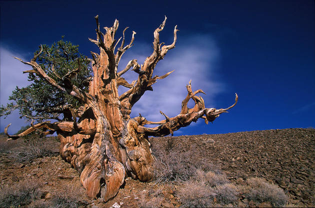 The oldest non-clonal tree in the world is 4845 years old!