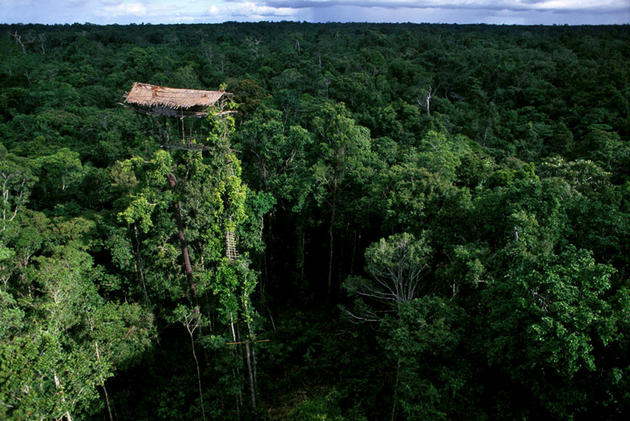 Abandoned Korowai treehouse.West Papua, Indonesia.
