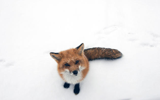 A Fox looks at the Photographer