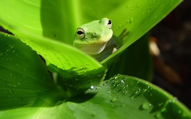 A frog camouflages itself on a leaf
