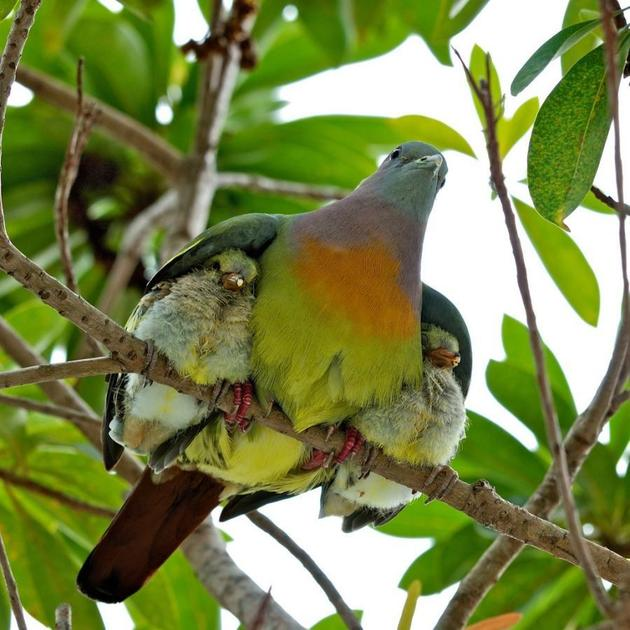 A mother with its birds under the wings
