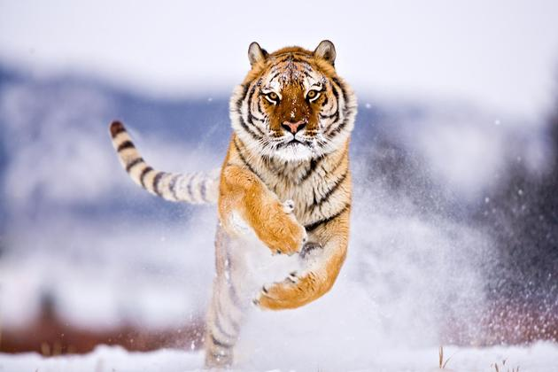 A tiger running in the snow captured