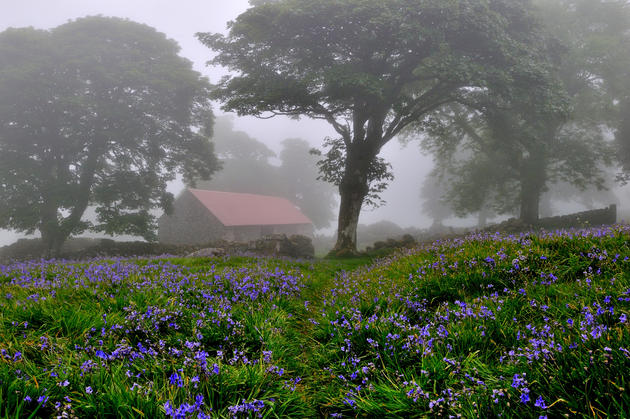 Blue Bells in the Mist