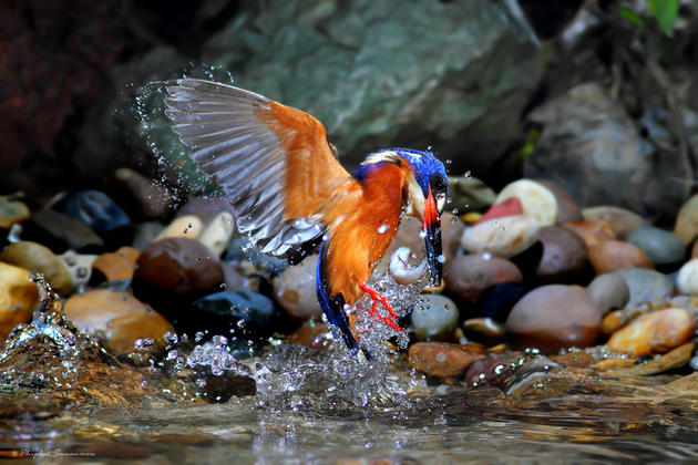 Blue Kingfisher Hunting for fish in a stream