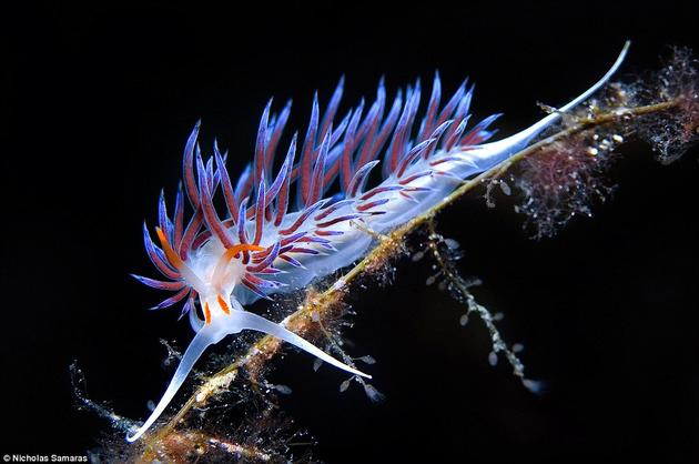 Ghostly nudibranch