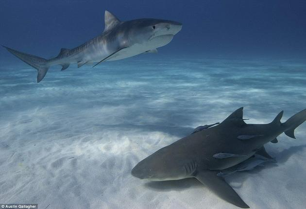 Lemon Shark Tiger Sharks swimming