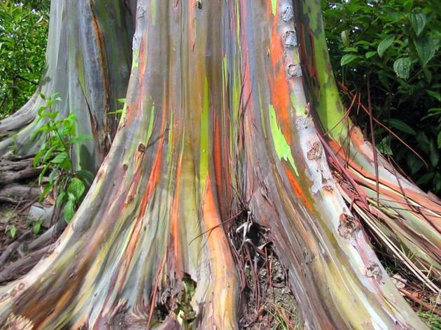 New Guinea Colourful Tree