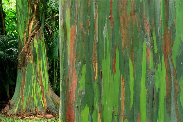 New Guinea bright green and orange bark