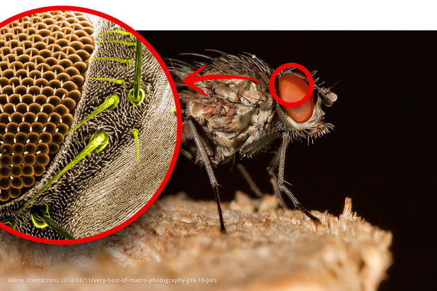 Drosophila (fruitfly) macro photo
