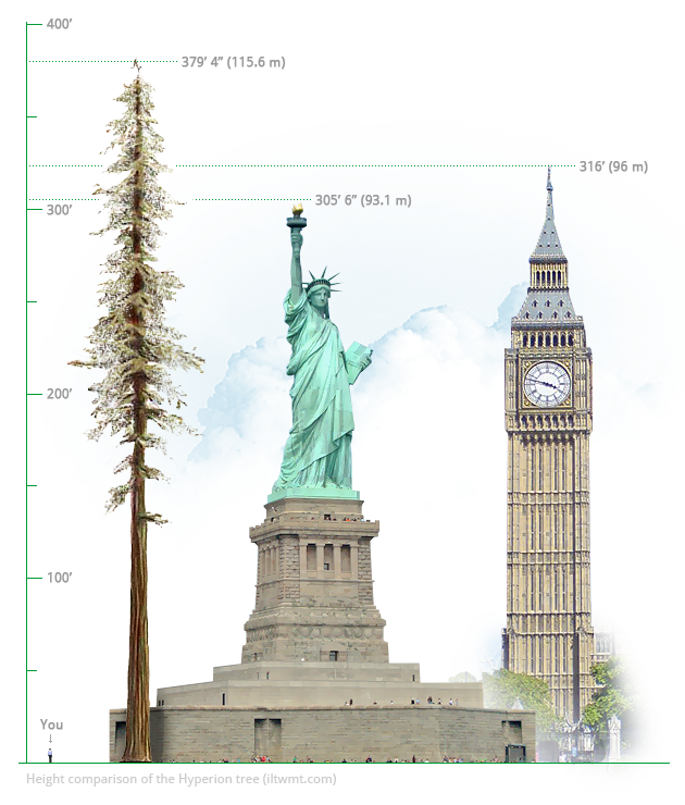 Hyperion tree comparison to the Statue of Liberty and the Big Ben