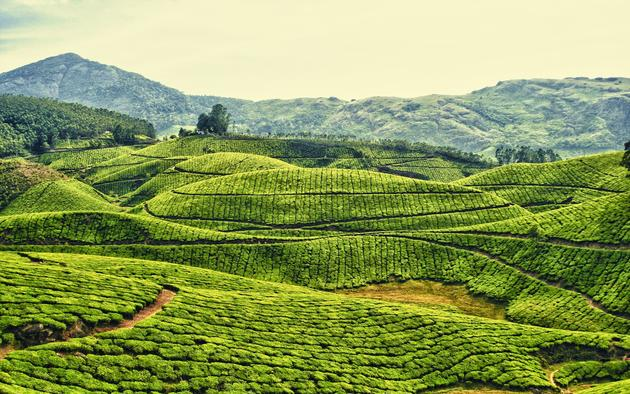Kerala, India Tea plantation HD Wallpaper