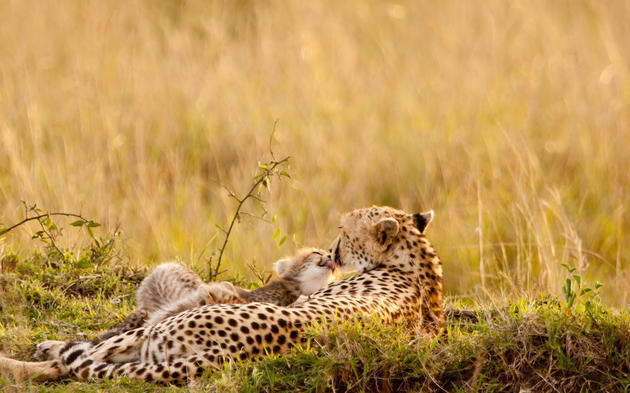 Leopard Family Resting