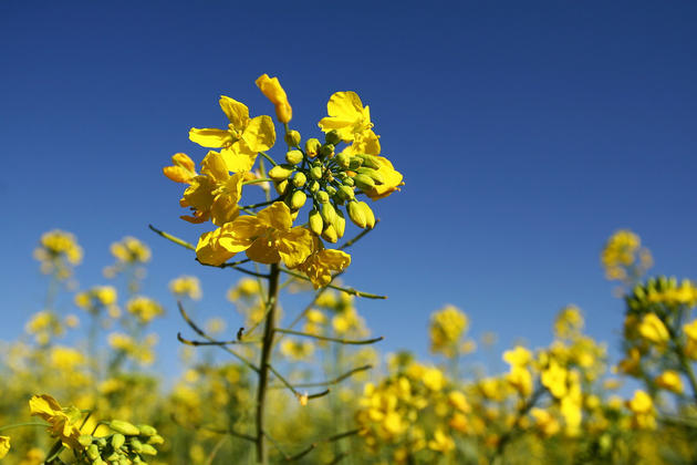 Canola Plants in the fields of China