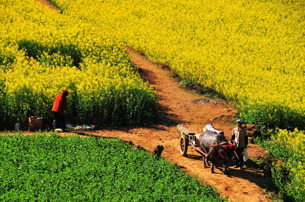 Farmers and their Canola fields of China.