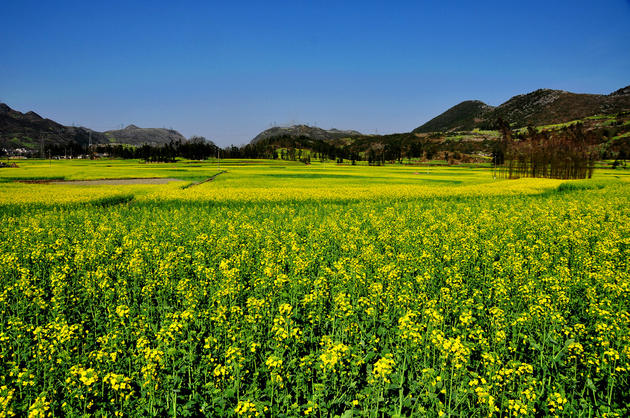 Beautiful Yellow Fields of Canola in Luoping