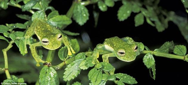 Glass Frogs hiding on leaves