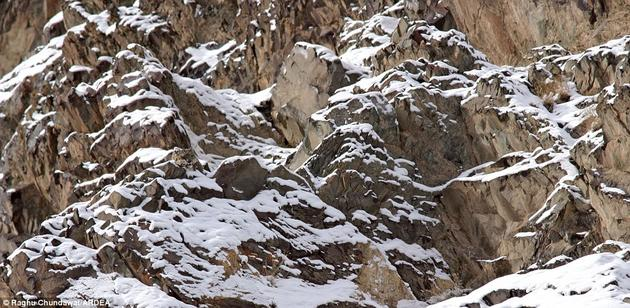 Snow leopard hiding