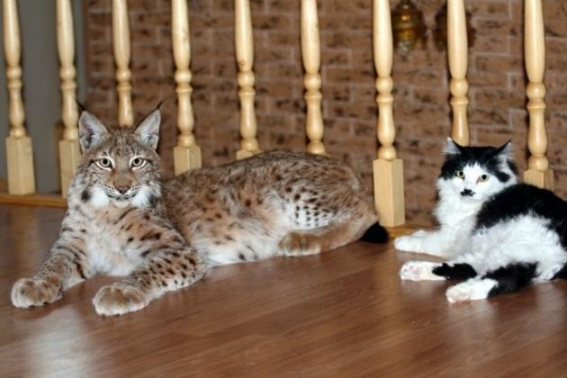 Pet Lynx next to a bobcat