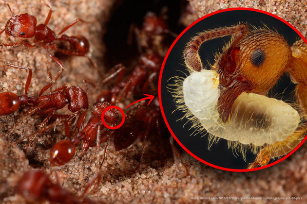 Red ant magnified ×5