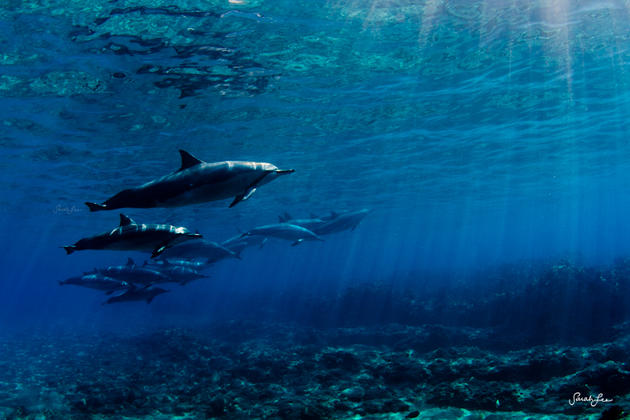 Dolphins swimming with humans by Sarah Lee