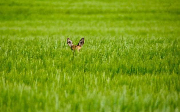 Shy Bambi in the Green Field HD Wallpaper