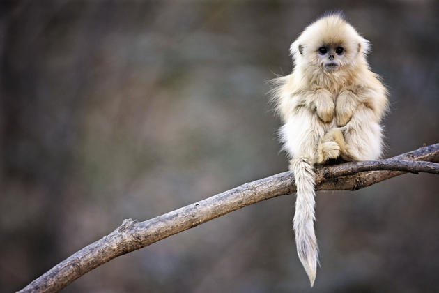 Snub nosed monkey wallpaper
