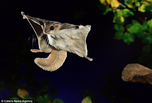 A Southern Flying Squirrel flying