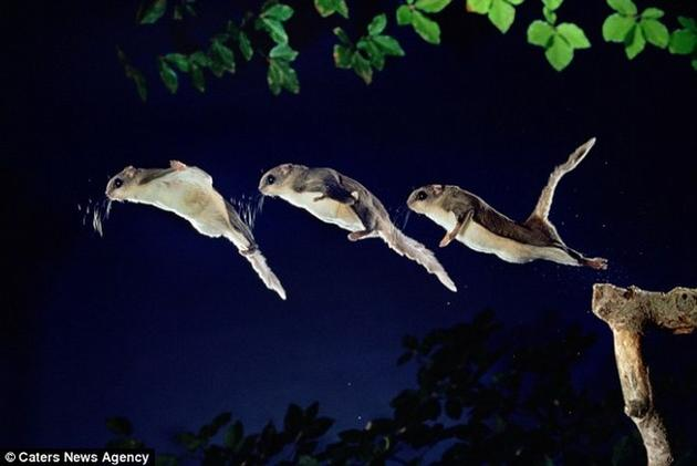 Frame by Frame photos of the flying squirrel