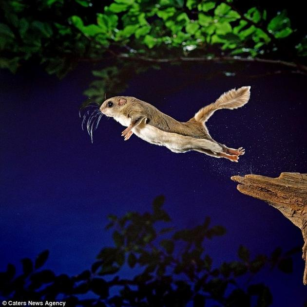Amazing leap of the flying squirrel