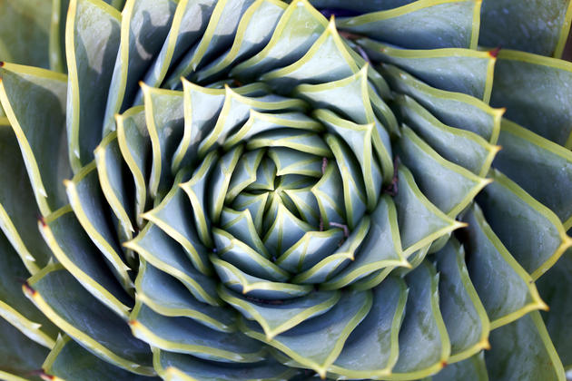 Spiral Succulent HD Wallpaper