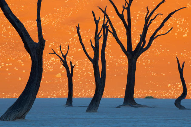 Camel Thorn Trees by Frans Lanting