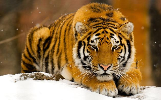 Tiger in the snow HD Wallpaper