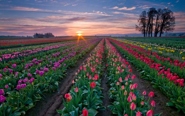 Tulip Fields by Jesse Estes' HD wallpaper