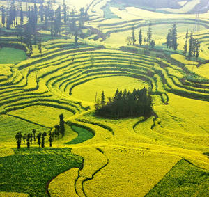 Luoping Canola Preview China