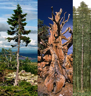 The Oldest Tallest Widest And Gest Trees In World I Like To Waste My Time
