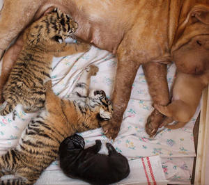 Shar Pei Dog Mother Takes care of Tiger Cubs