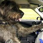 Dog Driving school in New Zealand