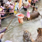Crazy people are playing with Tigers..
