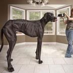 Tallest Dog Ever Guinness 2013