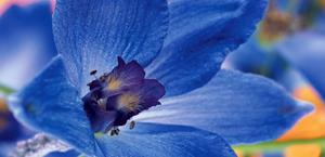 Blue Flower Macro HD Wallpaper