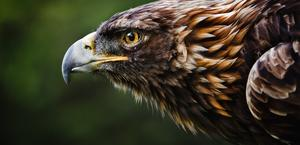 Golden Eagle wallpaper HD by William Hornaday