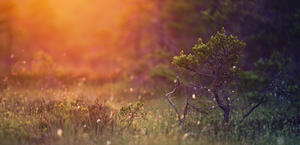 Morning in Wilderness Pine Sun Rays HD Wallpaper