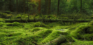 Mossy forest HD wallpaper