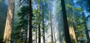 Redwood Forest, California HD Wallpaper