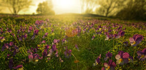 Wild Pansies Fields Sunrise